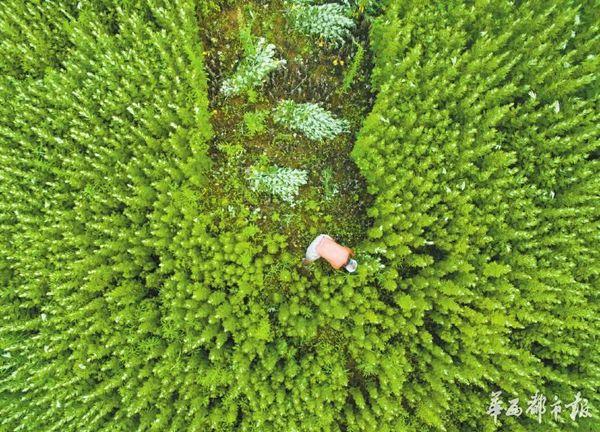 6月7日,成都市三圣乡江家堰村,付开明正在收割艾草。