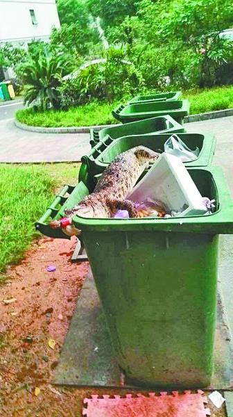 小区垃圾桶惊现死鳄鱼