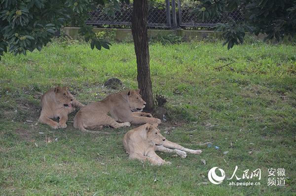 树荫底下好乘凉 人民网合肥7月23日电(陈曦) 炎炎夏季,烈日下的动物们防暑各有招。虽然还未到最热的三伏天,但是动物们已经酷热难耐,大熊猫早早住进了空调房、河马整日泡在水里冲凉、猴子游泳好不自在、大象与饲养员戏水玩耍。还有其他来自非洲产地的动物,也安静地卧在树荫下,一动不动。 据工作人员介绍,尽管园内的很多动物产地来自非洲,但动物园内的空气流通等因素远不及空旷的非洲大草原,所以这些动物在度夏时节也是懒洋洋的姿态。