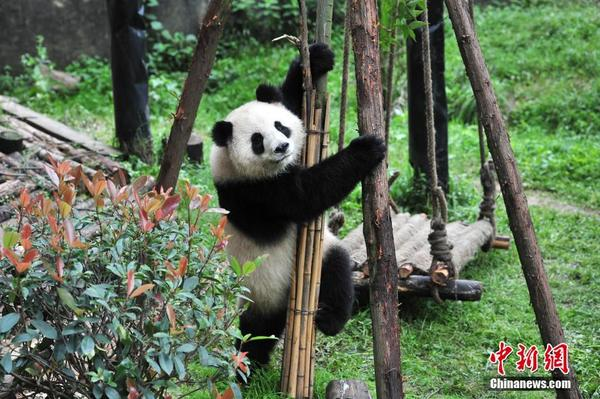 当日,在昆明的云南野生动物园熊猫馆,工作人员安装了一架秋千供大熊猫
