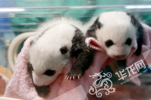 重庆动物园小熊猫