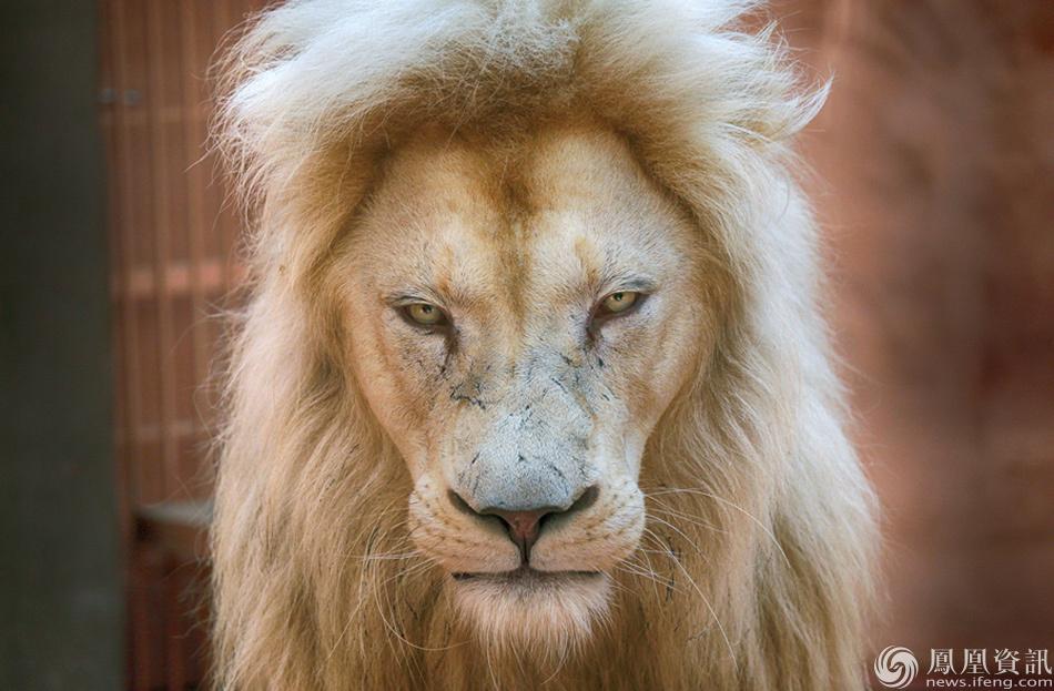 2016年8月11日,乌克兰基辅私人动物园内的白狮.