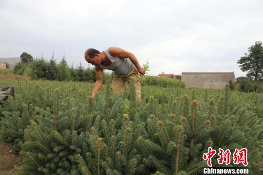图为农户种植的苗木。 刘玉桃摄