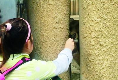 小朋友给动物园里的梅花鹿投喂食物