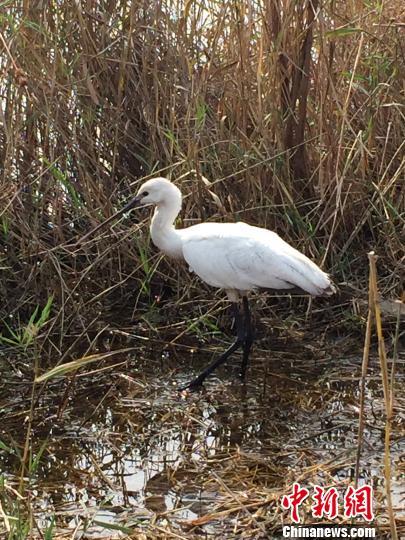 放归大自然后的白琵鹭在芦苇丛中觅食 张帆 摄