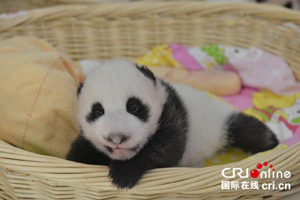 """7月9日,大熊猫""""帼帼""""在上海基地顺利产下一只雌性幼仔,这是保护研究"""