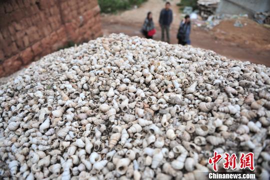 图为挖掘出来的螺蛳壳刘冉阳摄