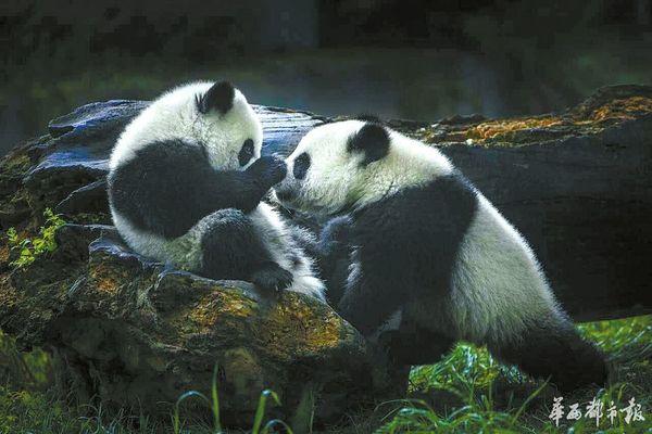参赛请扫蓉城文艺二维码 还记得上周穿越水电站落水的那只大熊猫吗?滚滚虽然已经顺利得救,但它趴在栅栏上颇具喜感的姿势图,一定还存在大家的手机里!四川是大熊猫的故乡,大熊猫的各种萌态,吸引了众多摄影达人的镜头。由成都市文联和华西都市报联合举办的成都美一拍首届全国手机摄影大赛,也收到了不少熊猫照。摄影达人们将大熊猫的黑与白,融汇在了丰富多彩的光影世界里,充分展示出憨态可掬、呆萌乖巧的大熊猫的精神世界。 我爱大熊猫,我喜爱及亲近它们的方式是摄影。四川著名摄影家周孟棋,在长达20多年的时间里