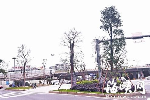 道路,将进行绿化提升改造,主打的行道树就包括了秋枫树,安全岛中也以
