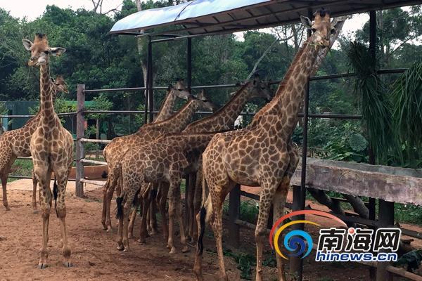 在野外长颈鹿的寿命为20-25年,动物园里的能活28年.
