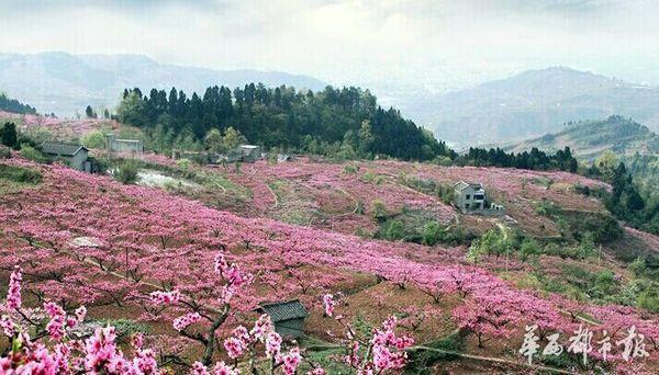 地址:龙泉花果山省级风景名胜区 崇州:油菜花,桃花