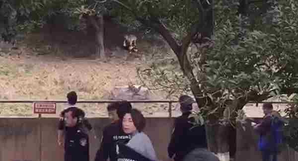 2016年7月23日,北京八达岭野生动物园发生老虎袭人事件,导致一死一伤.