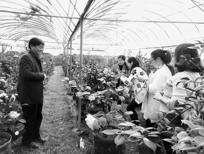 天宝花卉家庭农场的茶花竞相怒放,吸引了许多游客前来观赏拍照。    本报记者 刘深魁 摄
