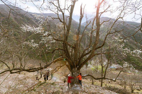 金川一颗400年古梨树 不仅老树开花 而且奇葩!