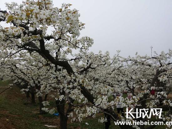 盛开的梨花。通讯员 郭英�j 摄