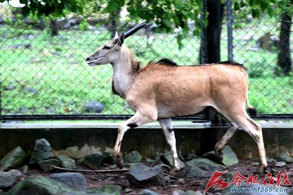 合肥野生动物园首次引进大羚羊
