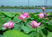 辽宁铁岭莲花湿地:蒲绿荷红、烟霞缥缈的4A景区