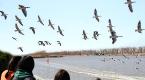 沧州湿地迎来了大批迁徙候鸟