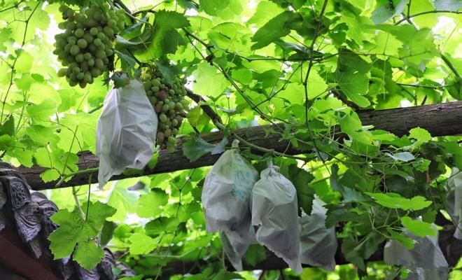 河南巩义:三百年葡萄古树挂满硕果