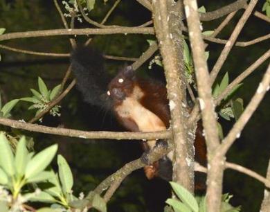 高黎贡山发现极度濒危的比氏鼯鼠属新物种