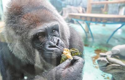 郑州动物园提前过端午猩猩吃上水果粽河马泡上艾叶浴
