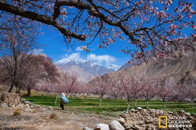 帕米尔高原 白居易的《南湖早春》写道:乱点碎红山杏发,平铺新绿水苹生。尽管大家对杏花的熟知度不比桃花来的深,但是这里的杏花无疑是让人惊艳的。古人对于花的情怀总是最撩人的。相比温庭筠诗中知有杏园无路入,马前惆怅满枝红的小遗憾,我无疑是幸运的,我知道有杏园,而且身在其中。