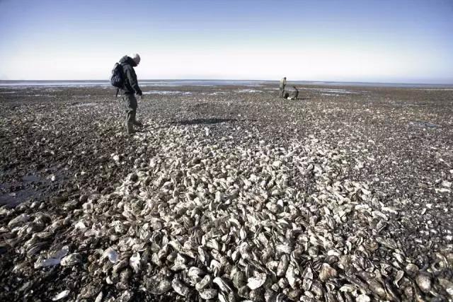 丹麦海岸长满生蚝 驻华大使馆紧急求助