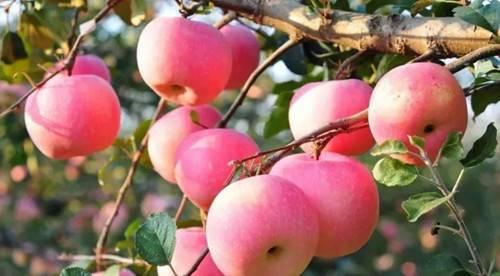 盛田有机农庄有机嘎啦苹果惹人爱待客来采摘