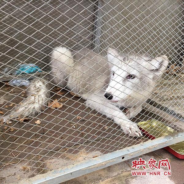 西流湖公园里的白狐