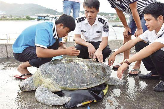 陵水分界洲海洋馆工作人员与万宁市海洋与渔业局工作人员共同救治海龟。通讯员卢裕元摄