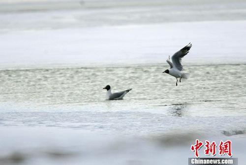 两只灰雁在可可西里无人区多格错仁附近的冰河中嬉戏。中新社记者武仲林摄
