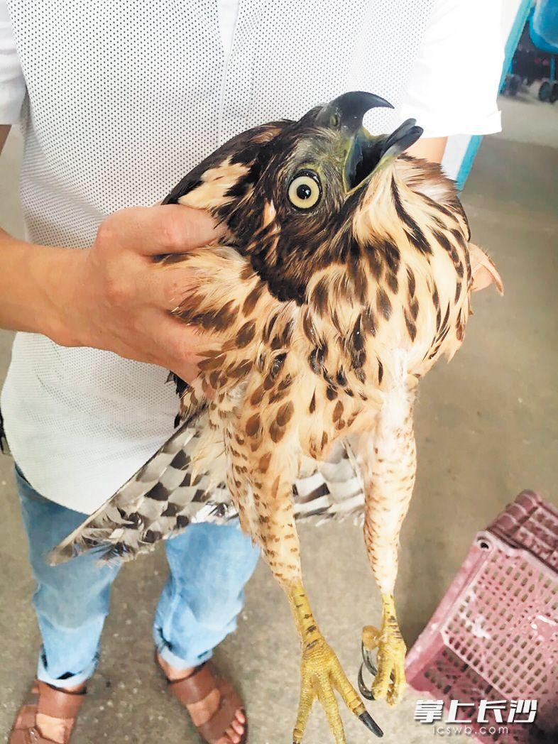 """捡到""""怪鸟""""父女施救 系国家二级保护动物鹰隼"""