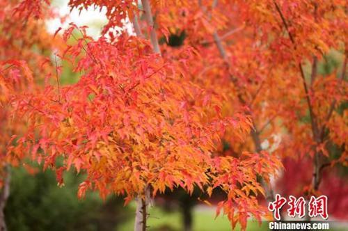 资料图:进入寒露后,天气变凉,新疆哈巴河县城东的一片枫叶林叶红如绸,鲜艳如火,到了一年一度的最佳观赏季节。刘是何摄