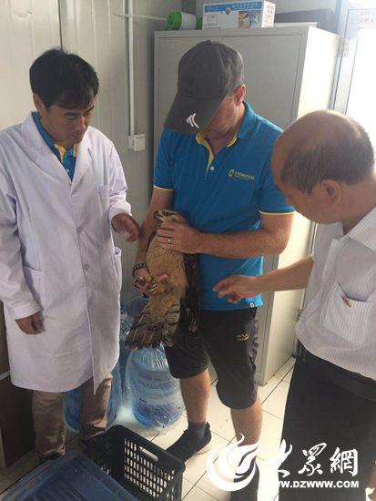 1、日照海洋公园陆生野生动物救助站接收了一只国家二级保护动物白腹鹞