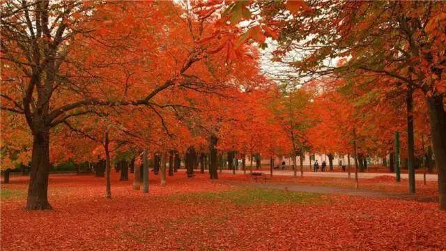 壁纸 枫叶 红枫 树 640_360