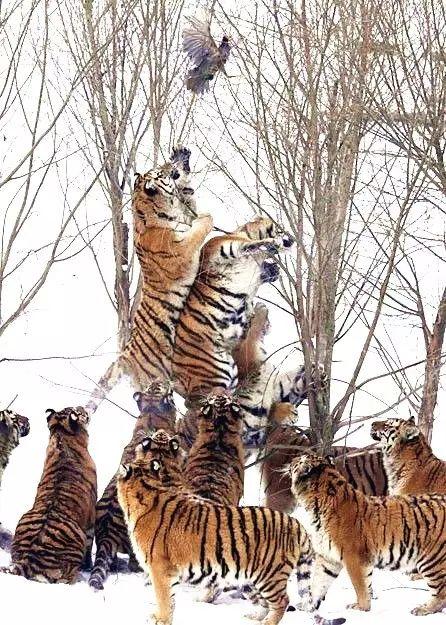国老虎的步骤