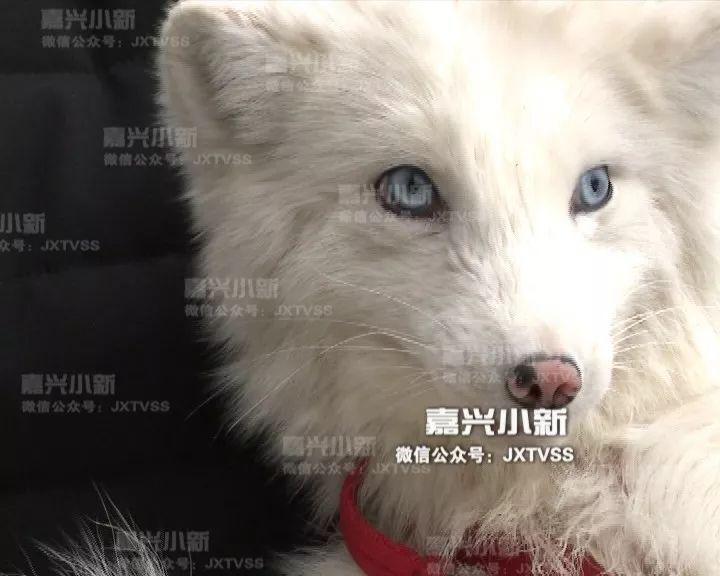 男子养了只白狐狸当宠物!万万没想到半年后惨