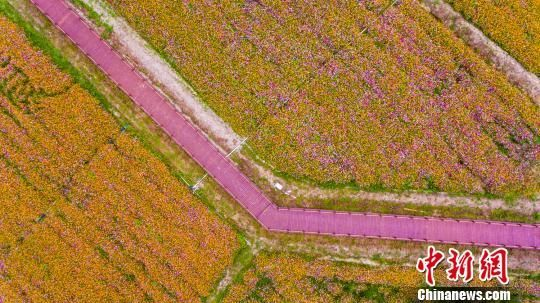 图为航拍三亚海棠湾国家水稻公园千亩花海。 骆云飞摄