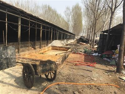 养猪大棚边,各种杂物乱堆在一起,有猪崽跑出大棚外活动。