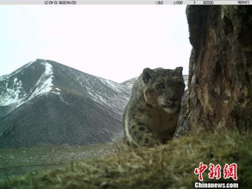 图为红外相机拍摄到的雪豹影像。 原上草自然保护中心摄