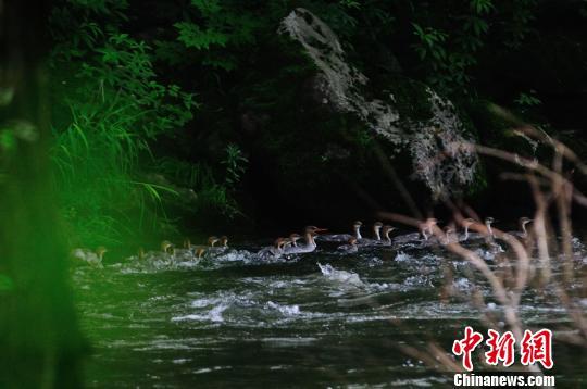 一只中华秋沙鸭妈妈带领小鸭逆流而上。 朴龙国摄