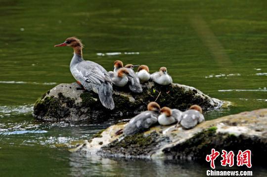 吉林确立中华秋沙鸭保护目标:2030年长白山区种群数量翻倍