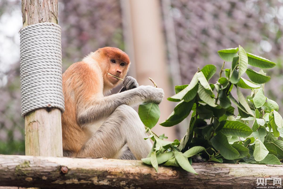 资讯  系我国第一只大鼻猴宝宝新生大鼻猴宝宝形态与成年大不相同,幼