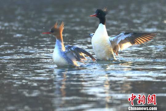 一对中华秋沙鸭在嬉戏。 孙亚强摄