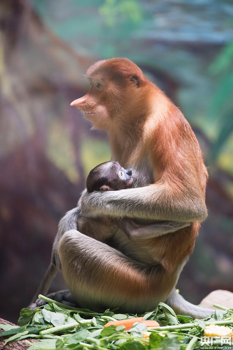 中国第一只珍稀大鼻猴宝宝在长隆诞生 国庆期间首次亮相