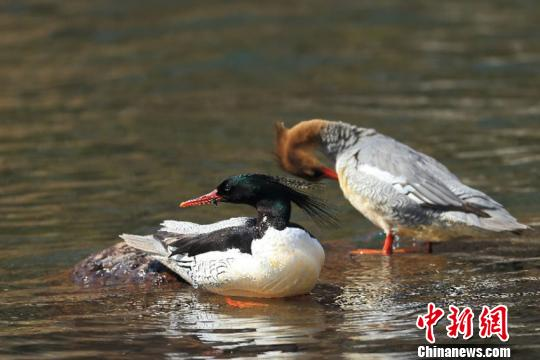 中华秋沙鸭对生存环境非常挑剔,喜欢在水流平缓的地域觅食。 孙亚强摄