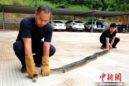 4米长缅甸蟒被山洪冲进稻田警民联合救助