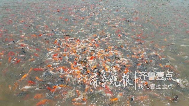 """枣庄村民养起""""网红""""鱼未来还可私人定制"""