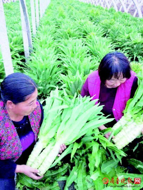 泰安、莱芜一些农户莴苣滞销 网友和爱心人士伸手相助