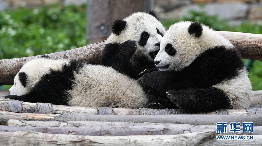 (图文互动)(3)国家林业和草原局发布最新圈养大熊猫数据
